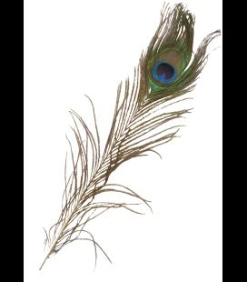 Feather Peacock (2 Größen) - 12 und 24 Stück