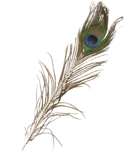 Peacock feather (2 sizes) - 12 and 24 pcs.